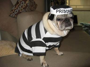 pug-costumes-060