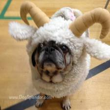 pug-costumes-073