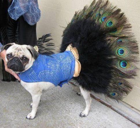 pug-costumes-104